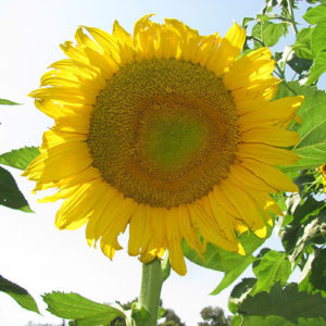 Star Chaser F1 Sunflower