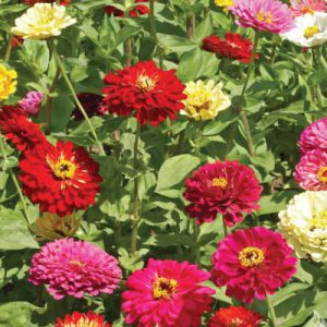 State-Fair-Zinnia-Seeds.jpg
