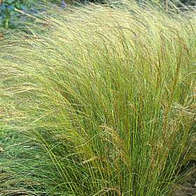 Stipa pony tails ornamental grass seeds urban farmer seeds stipaponytailsg workwithnaturefo