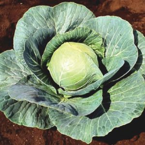 Stonehead-Cabbage-Seeds.jpg