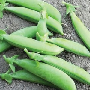 Sugar-Sprint-Pea-Seeds1