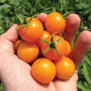 Sun-Sugar-Tomatoes-in-Hand.jpg