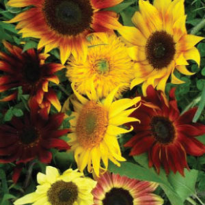 Sunflower-Mix.jpg