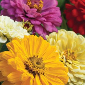 Sunshine Mix F1 Hybrid - Zinnia