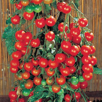 Supersweet-100-Tomato-Seeds.jpg