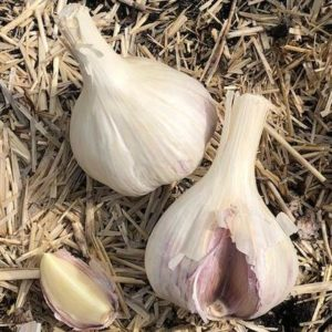 Garlic French Pink Sept 2018
