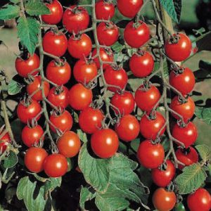 Sweet-Million-Tomato-Seeds1