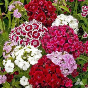 Sweet-William-Pinks-Dianthus-Seeds.jpg