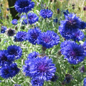 Tall-Blue-Cornflower-Seeds.jpg