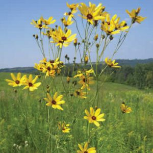Tall-Coreopsis-Plant.jpg