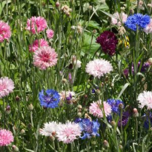 Tall-Mix-Cornflower-Seeds.jpg