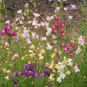 Tall-Mix-Snapdragon-Seeds.jpg
