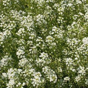 Tall-White-Alyssum-Seed.jpg