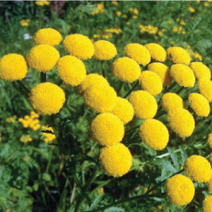 Tansy-Seeds.jpg