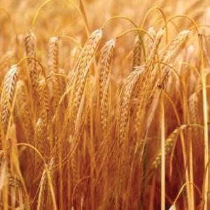 Thoroughbred-Barley.jpg