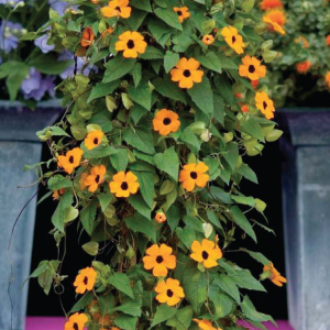 Thunbergia-Susie-Orange-Black-Eye-Seeds.jpg