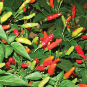 Tobasco-Pepper-Seeds.jpg
