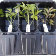 Tomato-Plants-For-Sale.jpg