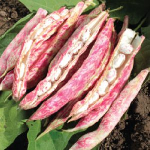 Tongue-of-Fire-Bean-Seeds.jpg