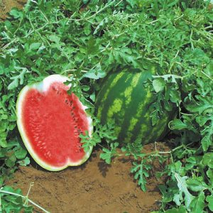 Top_Gun_Watermelon_Seeds.jpg