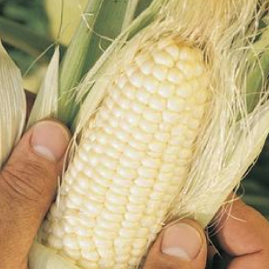 Trucker-Favorite-White-Corn-Seed.jpg