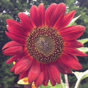 Velvet-Queen-Sunflower-Seeds.jpg