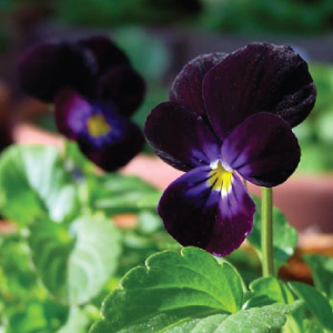 Viola-Blackjack-Seeds.jpg