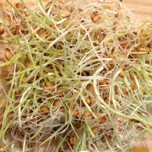 Wheat-Grass-Sprouts.jpg