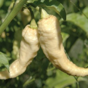 White-Bhut-Jolokia-Pepper-Seeds.jpg