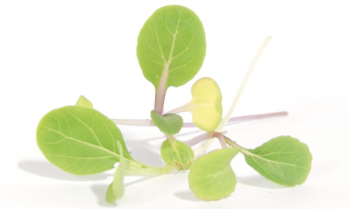 White-Stem-Bok-Choy-Microgreen-Seeds.jpg