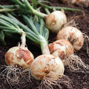 white-sweet-spanish-onion-seeds