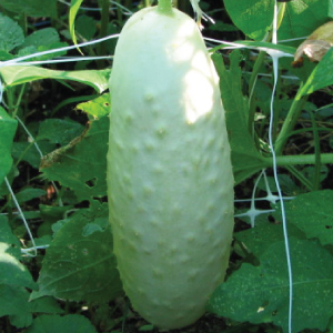 White-Wonder-Cucumber.jpg