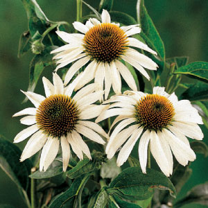 WhiteSwanConeflower.jpg