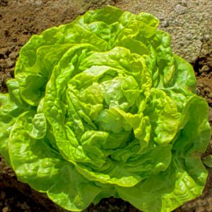 White_Boston_Lettuce_Seeds.jpg