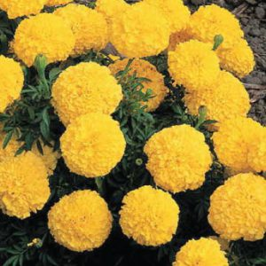 Yellow-Inca-II-Marigold-Seeds.jpg