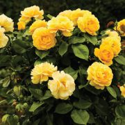 Yellow-Rose-Plant-Seeds-2.jpg