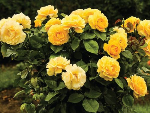 Yellow bush rose seeds urban farmer seeds mightylinksfo