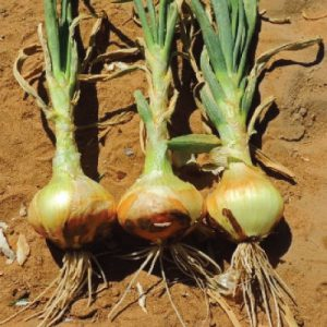 Yellow-Sweet-Spanish-Onion-Seeds.jpg