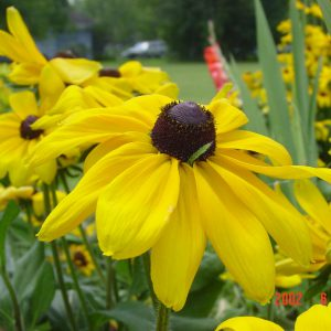 Yellow_Cone_Flower.jpg