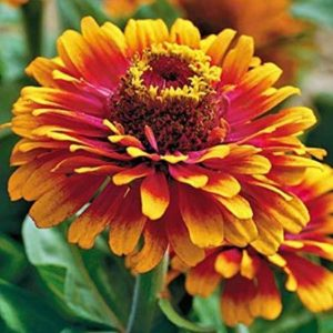 Zowie! Yellow Flame Zinnia