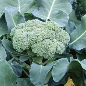 calabrese-green-sprouting-broccoli-seeds1